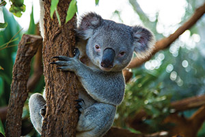 See koalas, kangaroos, and captivating coral reefs